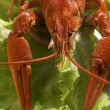 Cooked crawfish — Stock Photo