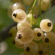 Stock Photo: White currants