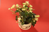 Flower in the pot — Stock Photo