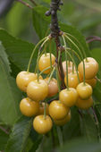 Ripe yellow cherries — Stock Photo