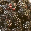 Stock Photo: Blackberries pattern