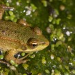 Frog in the swamp — Stock Photo