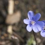 Blue spring flower — Stock Photo