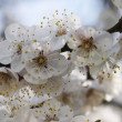 Apricot's bloom — Stockfoto