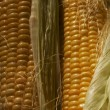Maize — Stock Photo