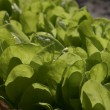 Stock Photo: Luttuce