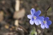 蓝色春天的花朵 — 图库照片