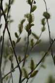 Willow buds — Stock Photo