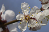 Cherry bloom — Stock Photo