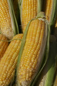 Maize ear — Stock Photo