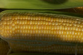 Golden maize — Stock Photo