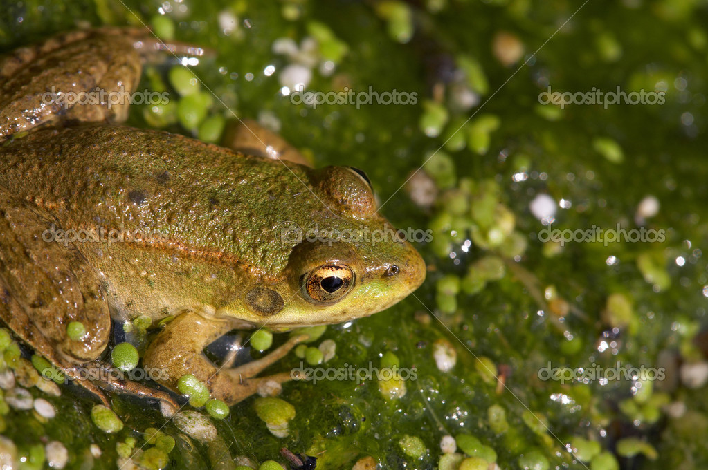 Macro picture of brown frog in the marsh — Stock Photo #1474052
