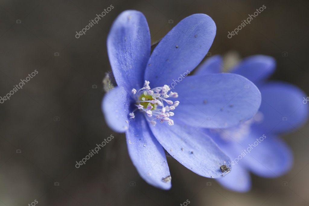 Blue petal — Stock Photo #1474975