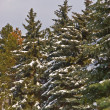 Fir forest — Stock Photo #1609840