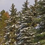 Göknar ormanı — Stok fotoğraf
