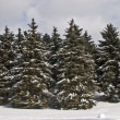 Foto Stock: Fir forest