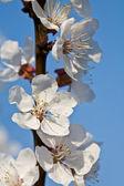 Apricot blooom — Stock Photo