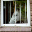 Royalty-Free Stock Photo: White horse look through the window