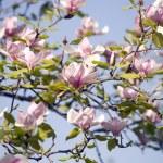Blossom of magnolia tree — Stock Photo