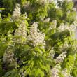 Branch of chestnut blossom — Stock Photo