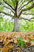 Leaves of plane tree and gravel with big — Stock Photo
