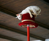 White cat makes stunt on top hat under w — Stock Photo