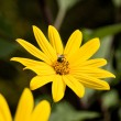 Bee on sunflower in garden — Stock Photo