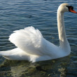 Floating swan in the wild — Stock Photo