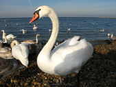 White swans in the wild — Stock Photo