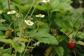 Fragaria — Stock Photo