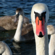 The head of a wild swan. — Stock Photo #1393108