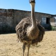 Stock Photo: The ostrich