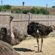 The ostrich — Stock Photo