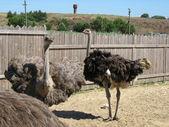 El avestruz — Foto de Stock
