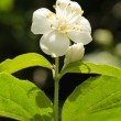 Jasmine Blossom - Stock Photo