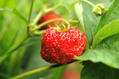 Fragaria moschata — Stock Photo