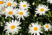 Mayweed — Stock Photo