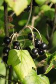 Ribes nigrum — Stock Photo