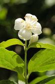 Jasmine Blossom — Stock Photo