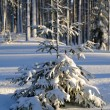 Fir tree — Stockfoto #1313026