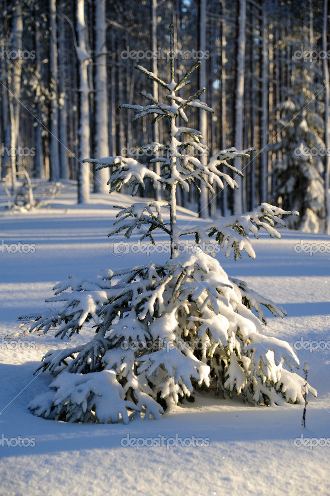 Fir tree covered with snow in winter wood — Stock fotografie #1313026