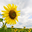 Stock Photo: Blossoming sunflower on cloudy sky