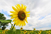 Blossoming sunflower on cloudy sky — Stock Photo