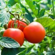 Stock Photo: Fresh red tomatoes and green leaves