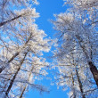 Stock Photo: Snow covered trees on blue sky
