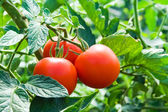 Fresh red tomatoes and green leaves — Stock Photo