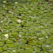 Stock Photo: Background with water lilies.