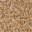 Stock Photo: Wheat grains.