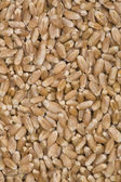 Wheat grains. — Stock Photo