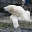 Stockfoto: Polar bear.